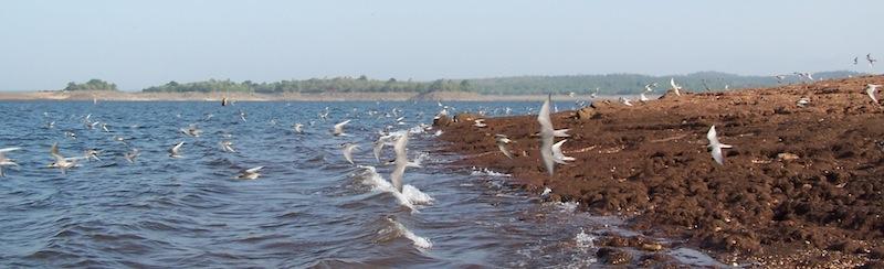 River Terns of Bhadra